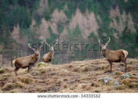 Scottish Stag - Scotland
