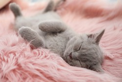 Scottish straight baby cat sleeping on furry blanket, closeup