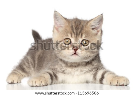 Scottish straight kitten on a white background with reflection #113696506