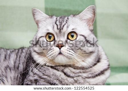 Scottish straight shorthair cat sitting on the sofa