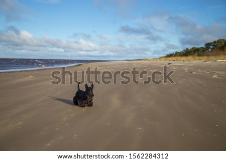 Scottish terrier black dog  standing by the sea on the sandy beach on a windy day