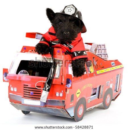 Scottish Terrier in fireman outfit sitting inside toy firetruck on white background