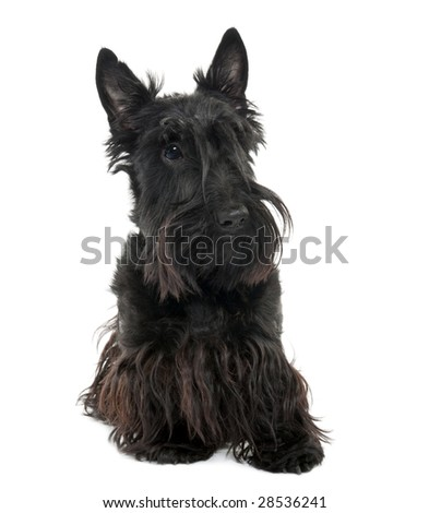Scottish Terrier (16 months old) in front of a white background