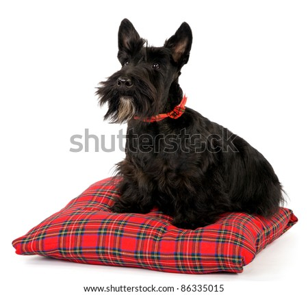 Scottish Terrier on tartan cushion on white background