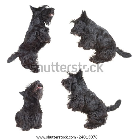 Scottish Terrier Puppies on Stock Photo   Scottish Terrier Puppy Jumping In The Air Against White