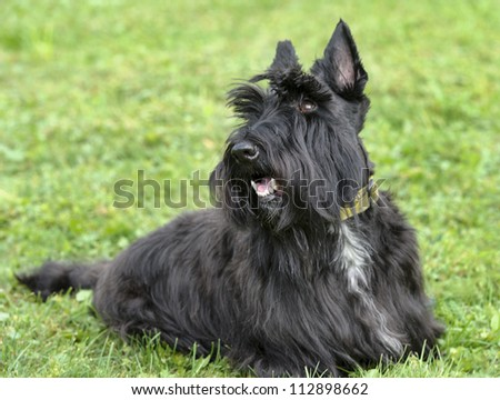 Scottish Terrier sitting in grass