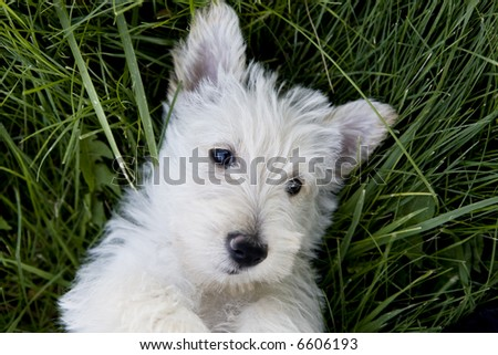 Scottish Terrier upside down in the grass