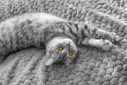 Scottish Whiskas grey cat. Top View. Fluffy Tabby gray beautiful adult cat, breed scottish, close portrait on grey textile background with brown eyes