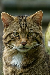 Scottish Wildcat (Felis silvestris) Juvenile staring intently at camera. Portrait
