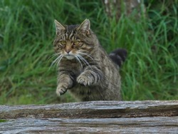 Scottish Wildcat Jumping