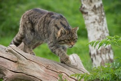 Scottish Wildcat on large tree trunk/Scottish Wildcat/Scottish Wildcat (Felis Silvestris Grampia)