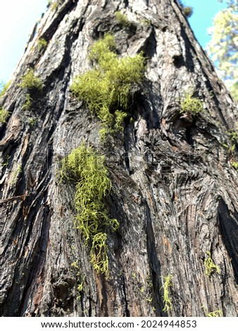 Scraggly green wolf lichen grows on the side of a conifer tree in the Sierra Nevada Mountains. California. Stock foto ©