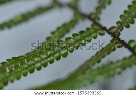 Scrambling coral fern, or the parasol fern (Gleichenia microphylla) is a small New Zealand native, with fronds that branch repeatedly. Top side of a frond. #1575393565