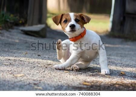 Scratching jack russel puppy #740088304