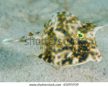 Scrawled Cowfish-Acanthostracion quadricornis, picture taken in Palm Beach County Florida.