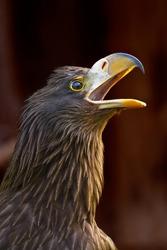 Scream eagle