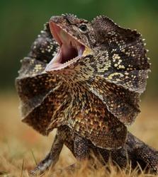 Scream, Frilled-neck Lizard, Chlamidosaurus kingii