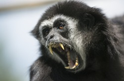Screaming monkey. Face of wild animal showing its fangs. Very shallow depth of field