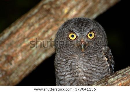 Screech Owl #379041136