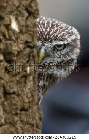 screech-owl look for the wrong tree
