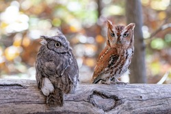 Screech Owl pair on a log.  One Grey one light brown.