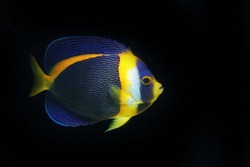 Scribbled Angelfish, Chaetodontoplus duboulayi from Australia
