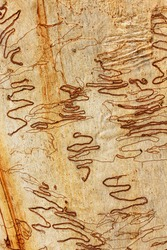 Scribbly Gum bark.  The trunk of Eucalyptus haemastoma.  Scribbles on the bark are scar tissue caused by the larsvae of the Scribbly Gum Moth.  Photo taken in Sydney bushland.
