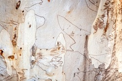 Scribbly gum is a name given to a variety of different Australian Eucalyptus trees which play host to the larvae of scribbly gum moths which leave distinctive scribbly burrowing patterns on the bark