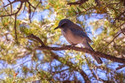 Scrub Jay - A little blue bird in Grand Canyon National Park in