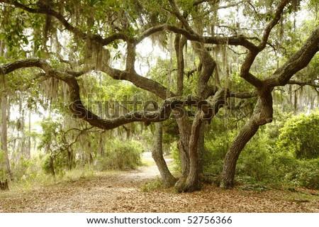 Scrub Oak or Live Oak Shading Lakeside Path