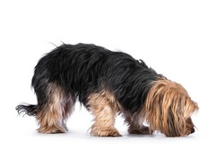 Scruffy adult black gold Yorkshire terrier dog, standing side ways and sniffing ground. Isolated on a white background.