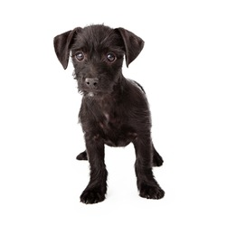Scruffy black puppy standing isolated on white background.