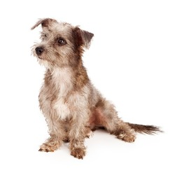 Scrufy mixed terrier breed dog sitting against a white backdrop and looking to the side