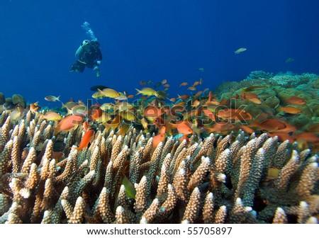 Scuba Diver and school of Fish