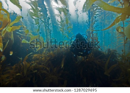Scuba Diver diving through Giant Kelp Forest in clear blue water #1287029695