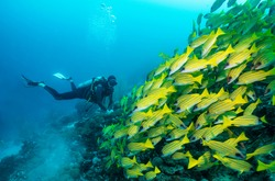 Scuba diver watches a big swarm of yellow snappers in the Indian Ocean
