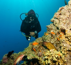 SCUBA diver watches a Moray Eel being cleaned on a coral reef