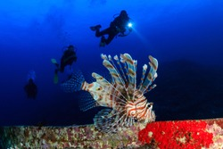 SCUBA divers and a large lionfish on an underwater shipwreck