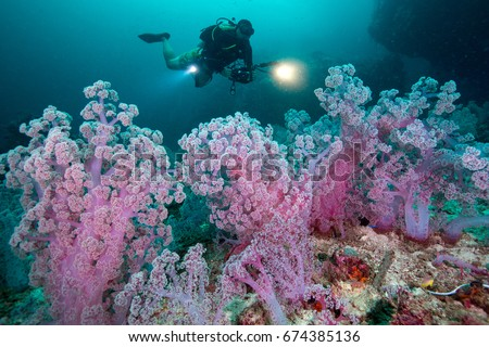 Scuba diving and camera in hand with Colorful soft corals pink color (Dendronephthya sp.) at Andaman sea ,Thailand #674385136