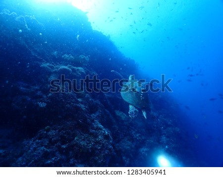 Scuba Diving in Rabaul and Kokopo , Papau New Guinea . Wall dives filled with coral reefs with amazing visibility up to 35 m  #1283405941