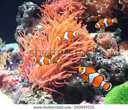 sea anemone and clown fish in...