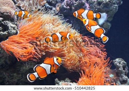 Stock Photo Sea anemone and clown fish in marine aquarium