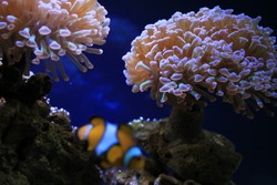 Sea anemone flower with exotic fish Clownfish in frot of in the center of oceanography and marine biology
