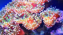 Sea anemones and corals in marine aquarium. Colorful abstract natural pattern, texture, underwater background. Concept art, graphic resources, macro photography