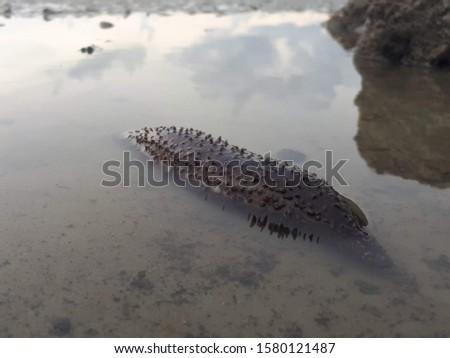 Sea animal.Sea cucumbers are echinoderms from the class Holothuroidea.