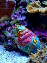 Sea apple colorful marine invertebrate - Pseudocolochirus violaceus