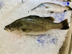 Sea bass on ice to control temperature keep fish fresh and avoid salmonella