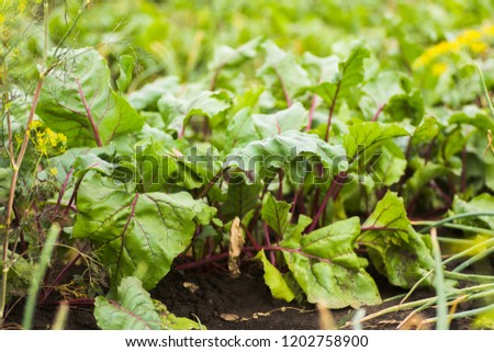 Sea beet, Beta vulgaris subsp. maritima, beetroot, table, garden, beet greens are green leaves with purple veins growing from a root crop in the ground.