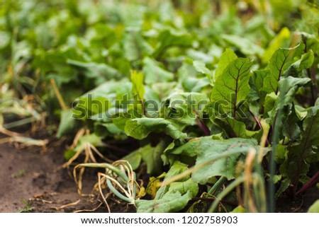 Sea beet, Beta vulgaris subsp. maritima, beetroot, table, garden, red, or golden beet, beet greens are green leaves with purple veins growing from a root crop in the ground.