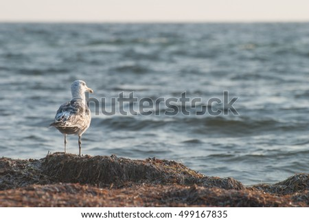 Sea bird - gull on the Black Sea coast. Larus looking into the distance. Animal in a natural reserve.